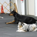 Doberman and Sheltie in a down-stay at a Show N Go.