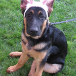German Shepherd puppy with bunny ears.