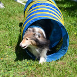 Tawney the sheltie loves the tunnel