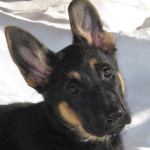 German Shepherd puppy with big ears.