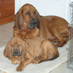 Bloodhounds AJ and Sophie for dog gallery.