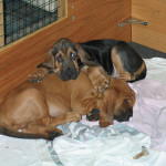 Bloodhounds AJ and Hank cuddling for dog gallery.