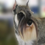 Example of a Schnauzer.