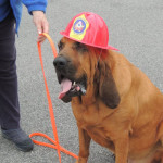 AJ the Bloodhound at the Fire Expo wearing a fire helmet.