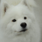 Ducky the Samoyed - great example.