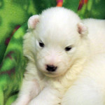 Tiny Samoyed puppy.