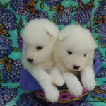 Baby Samoyed puppies.