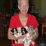 Havanese Puppies.