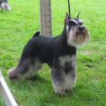 Dylan the Schnauzer showing his stuff!