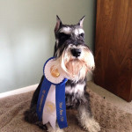Dylan the Schnauzer with his winning ribbon.