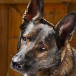 Gorgeous Gretchen - the German Shepherd.