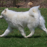 Example of a Samoyed gaiting.