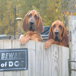 Bloodhounds, Hank and AJ on the fence.
