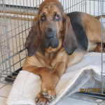 Hank the Bloodhound hanging out in his crate.