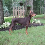 Example of an elegant Doberman.