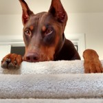 Doberman hanging over the steps.