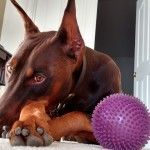 Reagan, the Doberman, with his favorite toys.