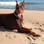 Doberman at the beach.