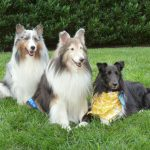 Example of Warfield Shelties.