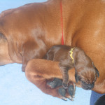 Sophie with her favorite Bloodhound puppy.