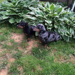 Example of Dachshunds.