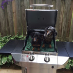 Dachshunds on the grill.