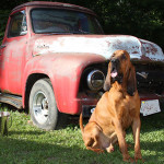 Bloodhound AJ posing in front of an old truck for dog gallery.