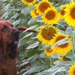 AJ the Bloodhound in from of a sunflower field.