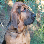 Hank the Bloodhound.