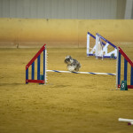 Callie jumping in agility.