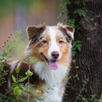 Millie - beautiful Australian Shepherd.