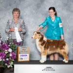 Australian Shepherd winning at the show.