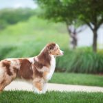 Example of an Australian Shepherd.