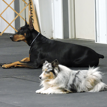 Shop button for Show N Go's showing a Doberman and Sheltie in a down-stay.
